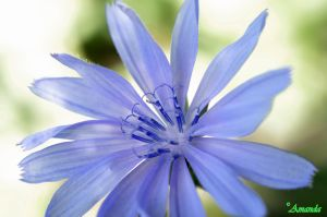 Chicory Flower by AGreenGirl