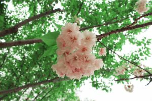 cherry blossoms 2 by Sophie-Y