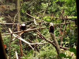 Bald Eagles by Zeds-Stock