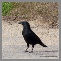 One Crow Standing by Mogrianne