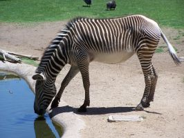 Zebra Stock 2 by Rejects-Stock