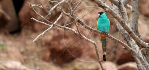 Hooded parrot by InsaneGelfling