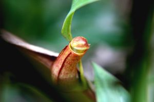 Little Red Pitcher Plant by hiding-paparazzi