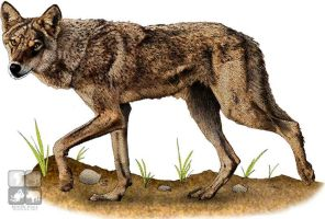 Indian Wolf by rogerdhall