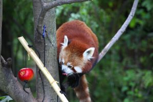 Red Panda III by Vanell-Photography