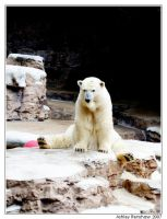 Polar Bear III by Unconventionals