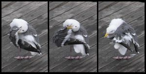 Western Gull Preening Sequence by Ciameth