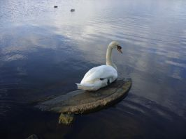 Lonely swan by AvenueOfLoneliness
