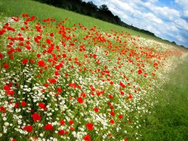 Field of Poppies - III by MD-Arts