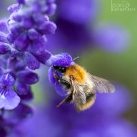 Bumblebee by Linkineos