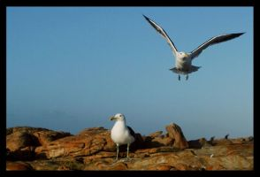 Seagulls by braticus