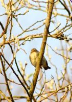Chiff Chaff by JetteReitsma