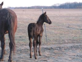 Filly foal: STOCK by Lythre-does-photos