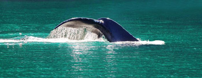 The Tail of a Humpback Whale by LILYFlowerr