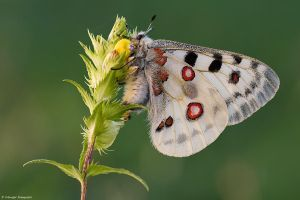 Parnassius apollo III by Aphantopus