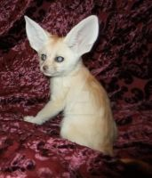 6 week old fennec fox by Corsacfoxes