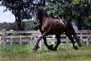 Friesian Horse II by Gamiani