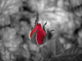 The blood red rose by moonik9