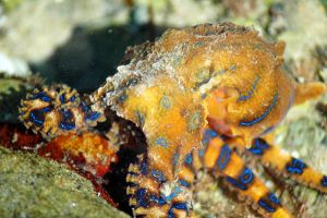 Blue-ringed Octopus by argopete