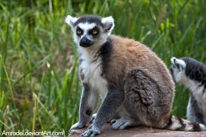 Ring-tailed Lemur VI by amrodel