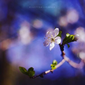 Cherry Flower by Justine1985