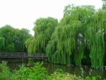 Babylon Willow by Angie-Pictures
