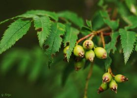 Green berries by Nattyw