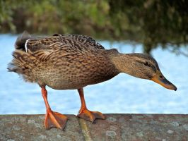 Balancing Duck by Becky125