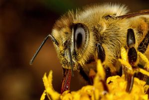 Feeding Honey Bee II by Japers