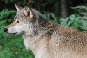 Timber Wolf by OrioNebula