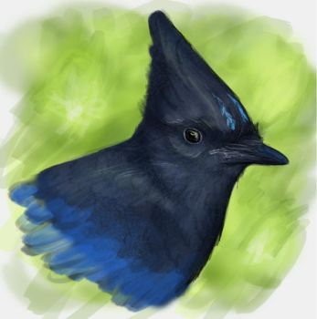 Steller's jay by RiverRaven