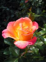 Late Summer Rose by EliN-lianoR