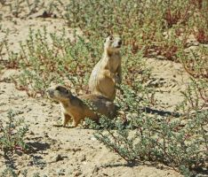 Curious Prairie Dogs by Synaptica
