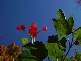 Vivid Red Berries by Pentacle5