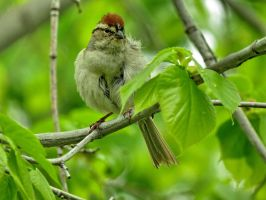 chipping sparrow by Nipntuck3