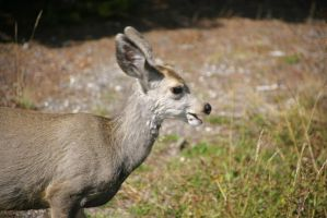 Yellowstone River Falls upper falls Muledeer Smile by swashbuckler