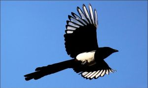 Eurasian magpie. by Evey-Eyes
