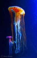 Ode to a Jellyfish (poem) by senador