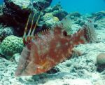 Hogfish 2 by g--f