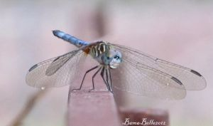 Dragonfly up close by BamaBelle2012