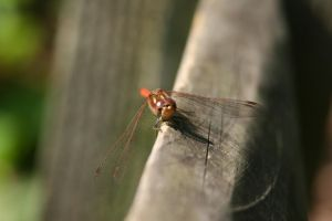 Damselfly 4 by CuriousCabbit