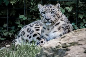 Snowleopard, Stuttgart V by FGW-Photography