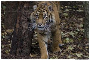 Tiger Portrait II by TVD-Photography