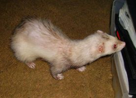 Ferret - Baby 1 by Aetheria-Stock