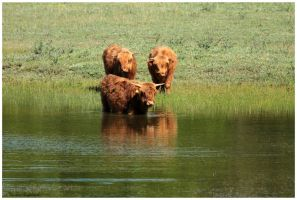 the Scottish Highlanders go for a swim by Claudia008