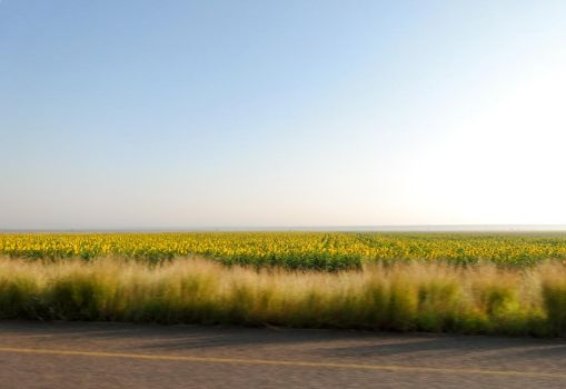 North West Province Sunflowers by RGDart