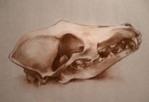 Coyote Skull by yolque
