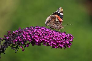 butterfly bush by Dieffi