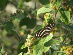 Zebra Longwing Butterfly by mtr0623