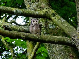 Southern White-Faced Owl by AJKent
